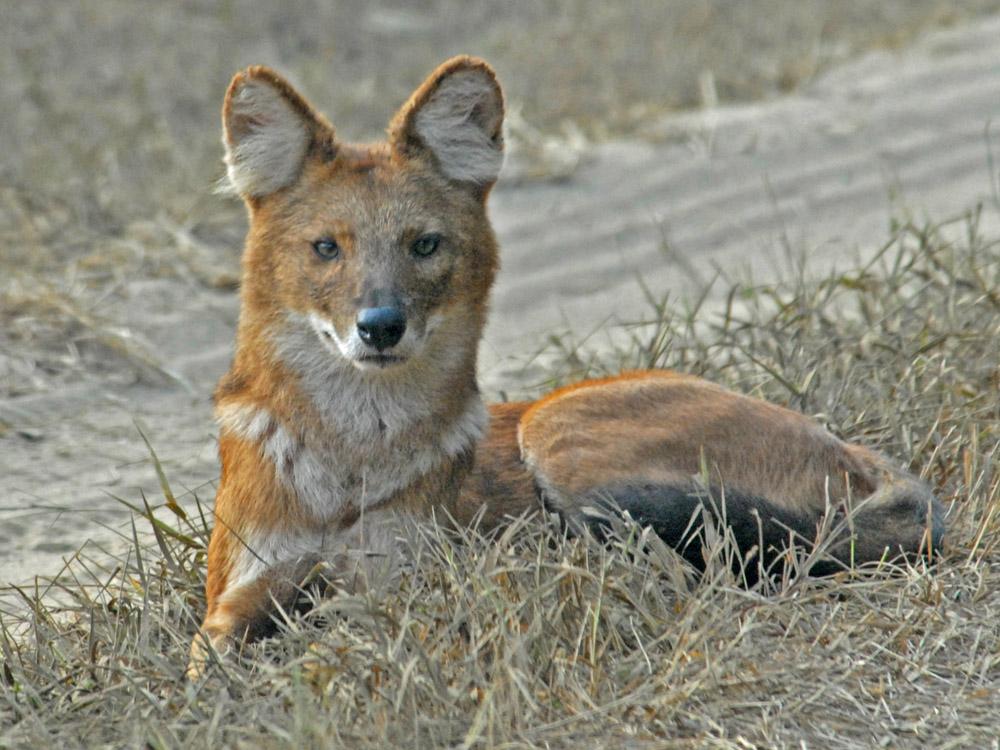 046 wild dog.jpg