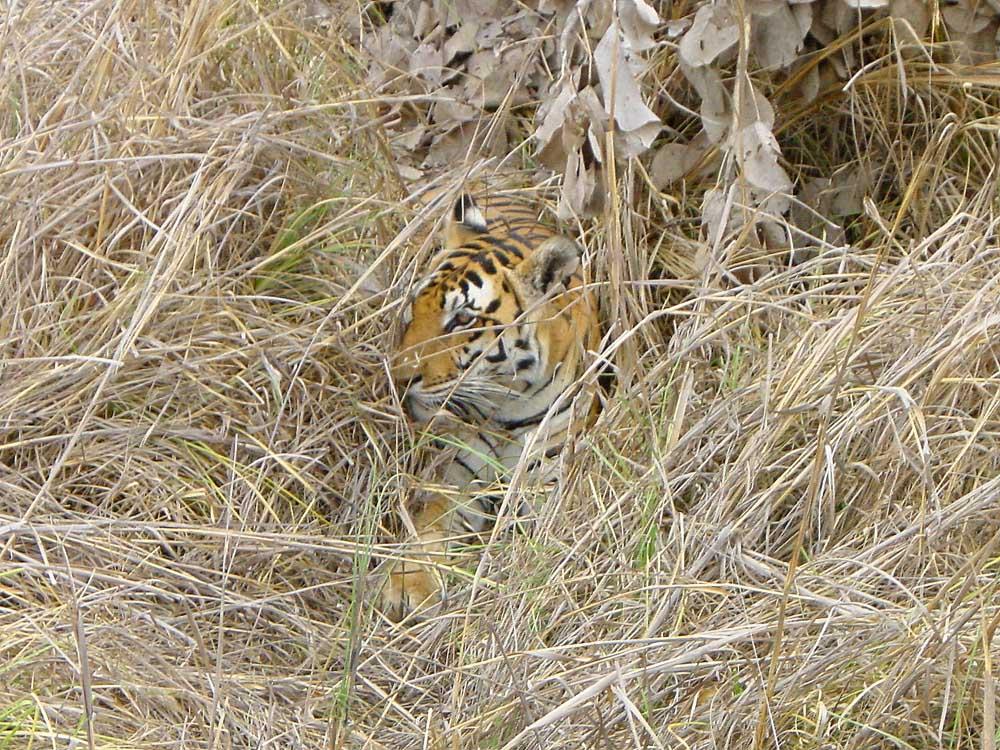047 tiger.jpg