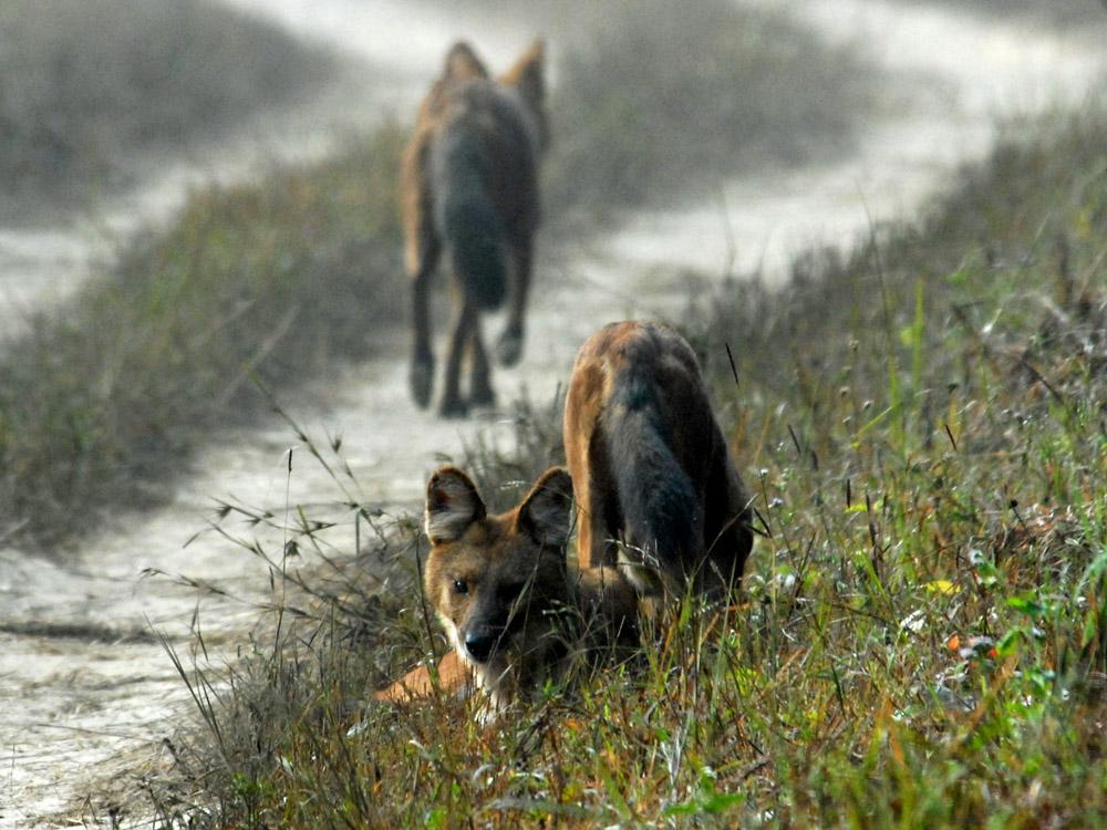 050 wild dogs.jpg