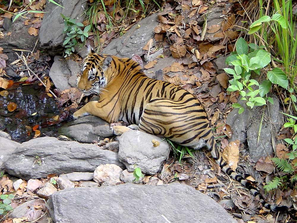 074 tiger.jpg