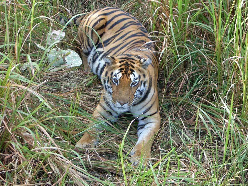 078 tiger.jpg