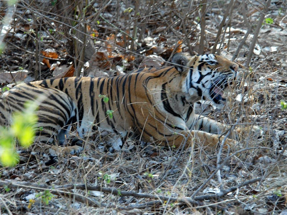 081 tiger.jpg