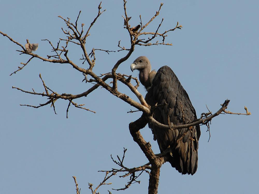 093 vulture.jpg