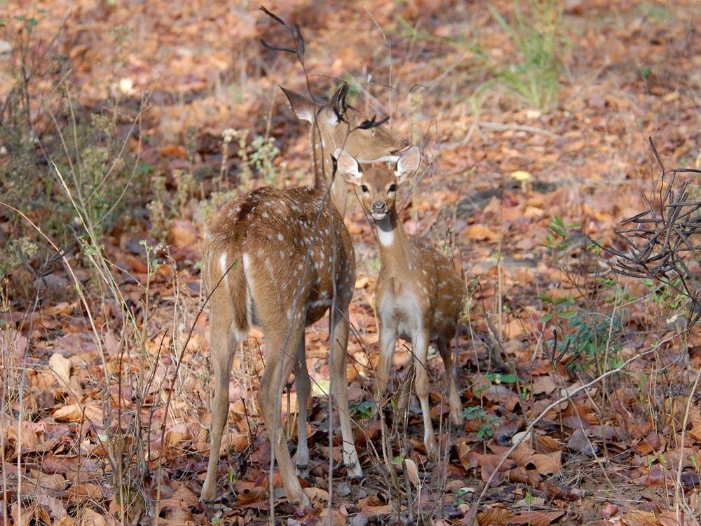 095 cheetal baby and mama.jpg