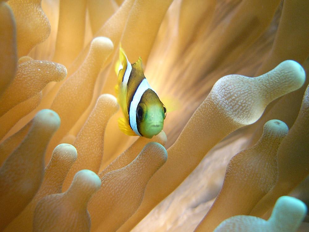 005 clown fish - maldives.jpg