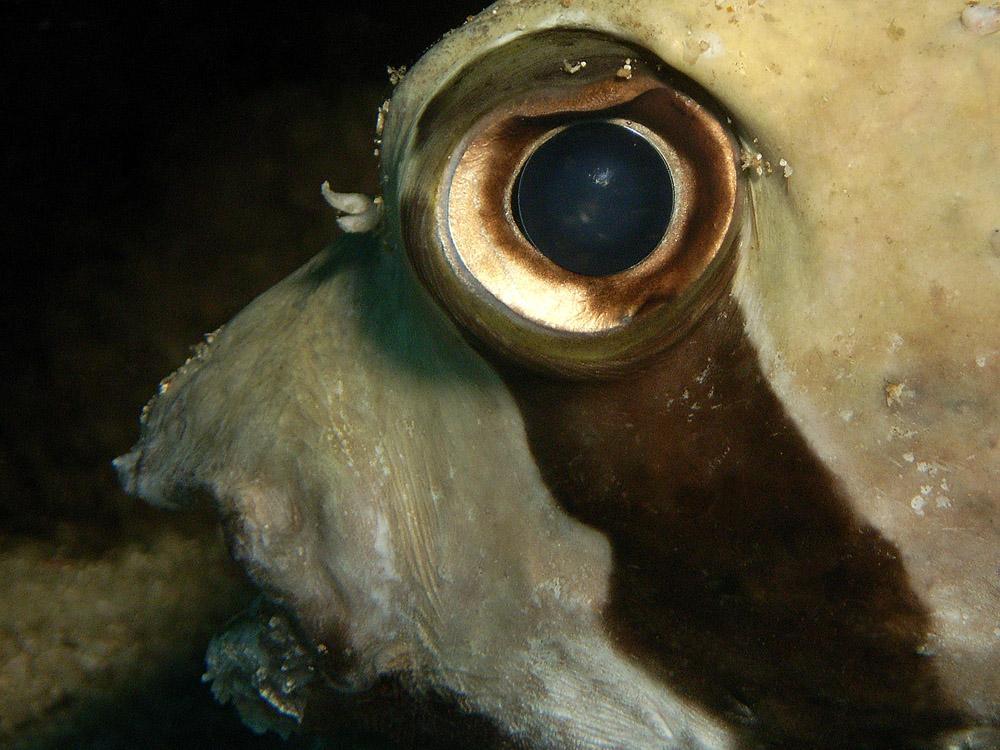 008 porcupinefish - thailand.jpg