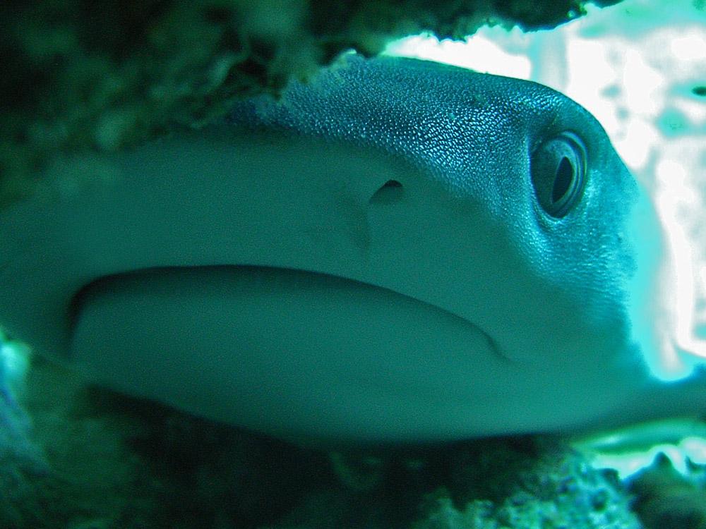 012 whitetip reef shark baby - maldives.jpg