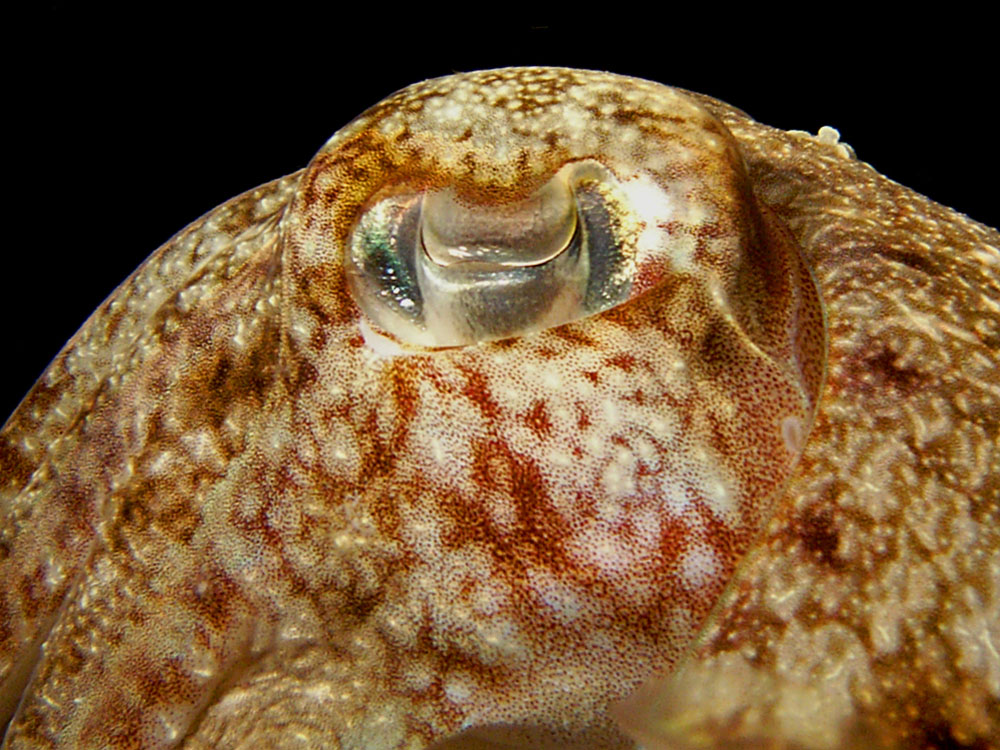 019 cuttlefish - thailand.jpg