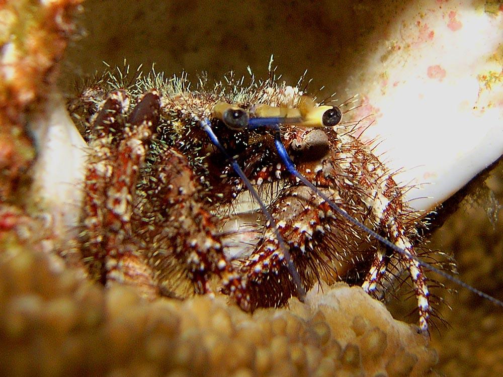 022 hermit crab - koh bon, thailand.jpg