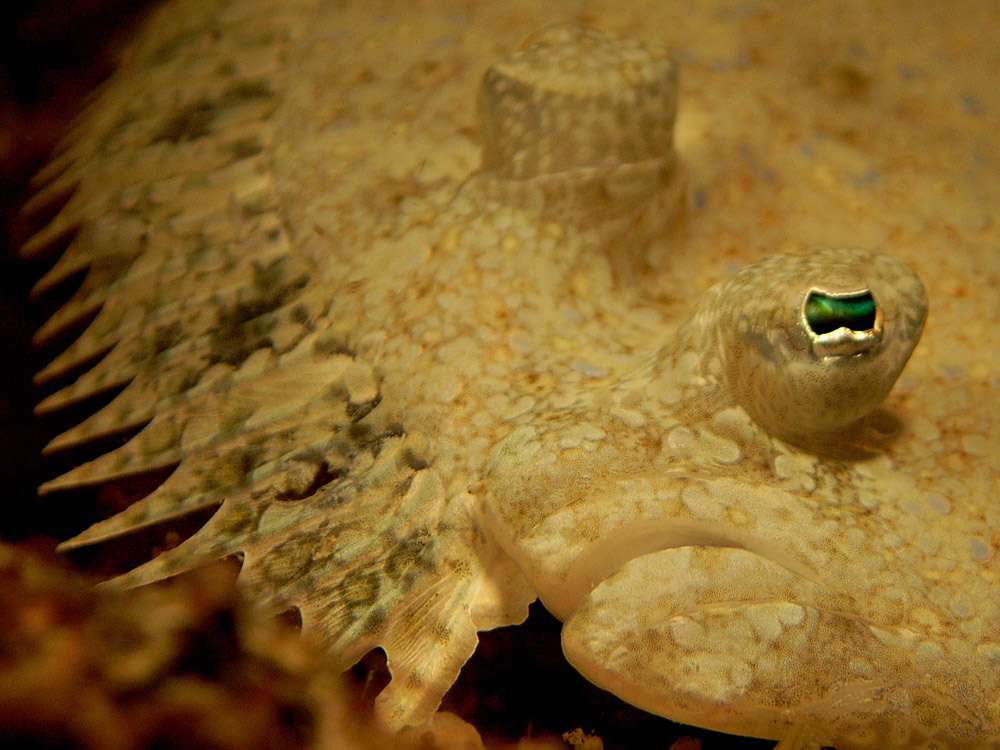 037 flounder - raja ampat, indonesia.jpg