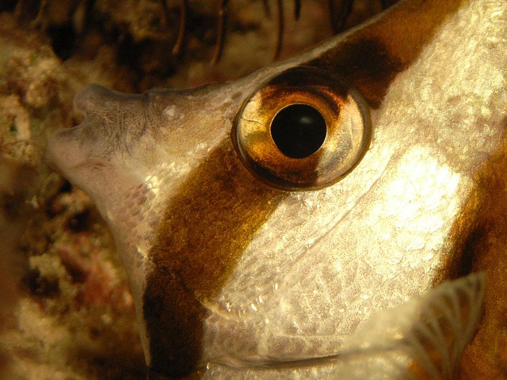 039 butterfly fish - raja ampat, indonesia.jpg