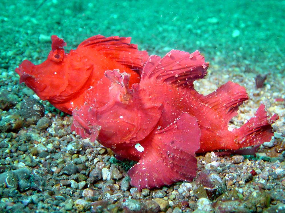058 rhinopias - alor, indonesia.jpg