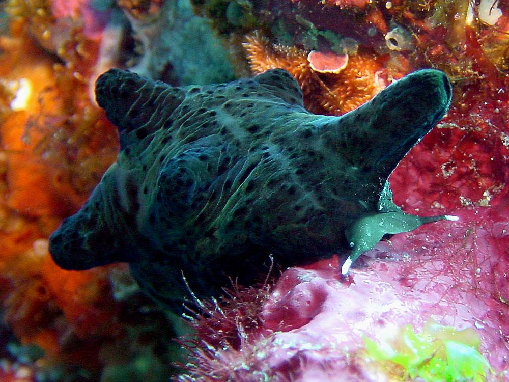 060 lamellarid - batu, indonesia.jpg