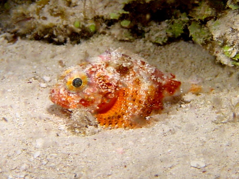 069 dwarf or baby scorpionfish - bimini, bahamas.jpg