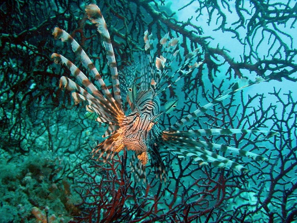 071 lionfish & gorgonian sea fan - papua new guinea.jpg