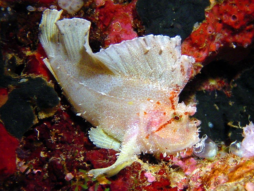 084 leaf fish - flores, indonesia.jpg