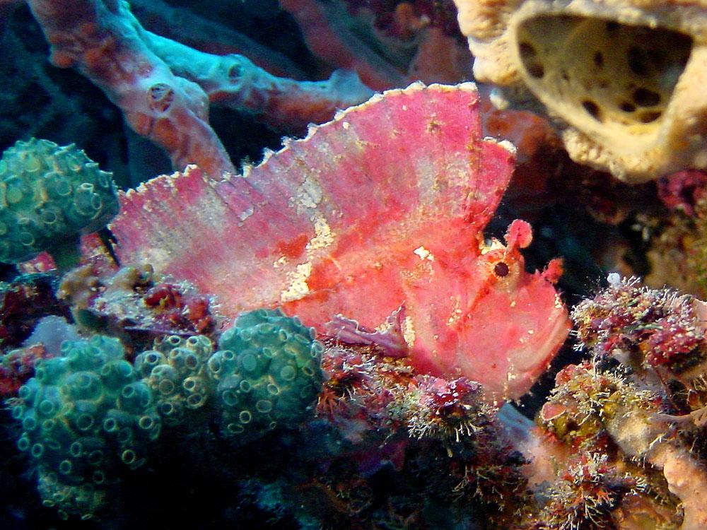 093 leaf fish - komodo, indonesia.jpg