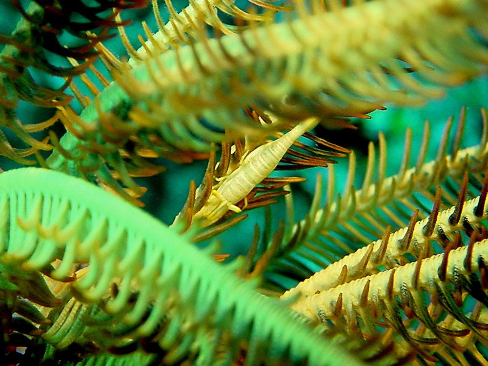 095 shrimp in crinoid - batu, indonesia.jpg