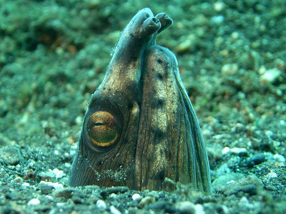 102 snake eel - manado, indonesia.jpg