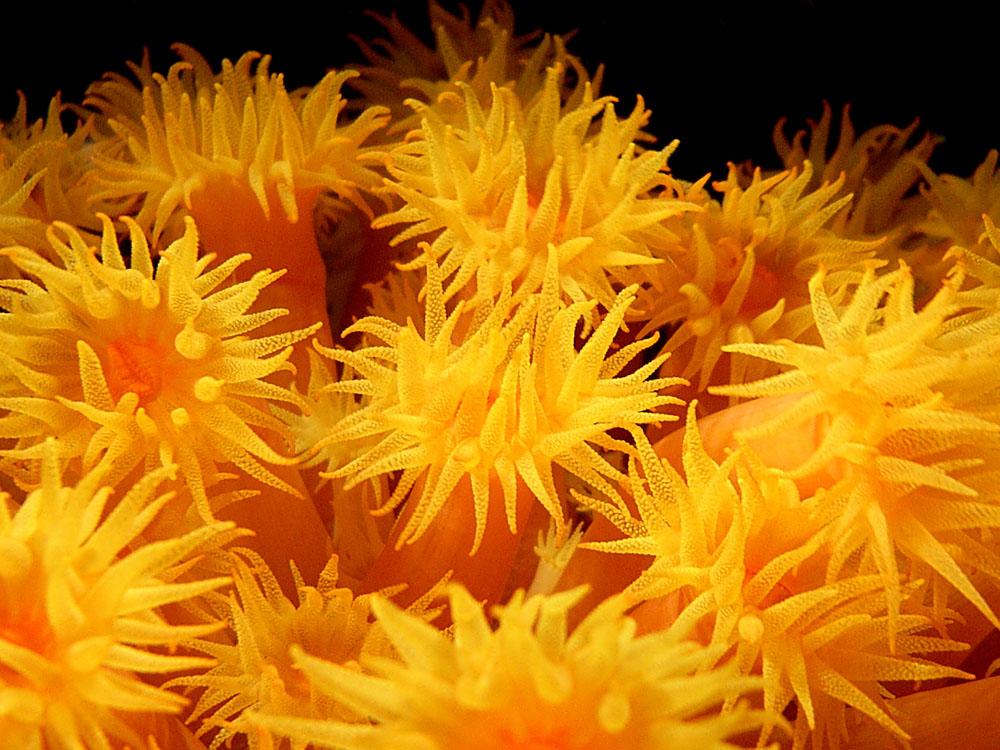 106 soft coral at night - manado, indonesia.jpg