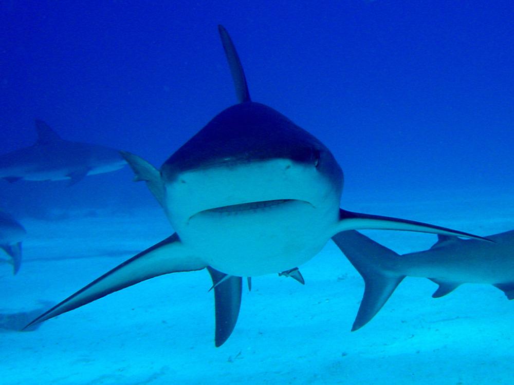 114 caribbean reef shark - nassau, bahamas.jpg