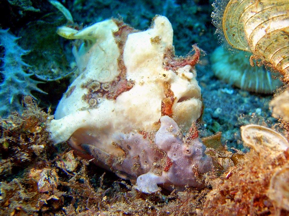 124 pregnant frogfish pair - manado, indonesia.jpg
