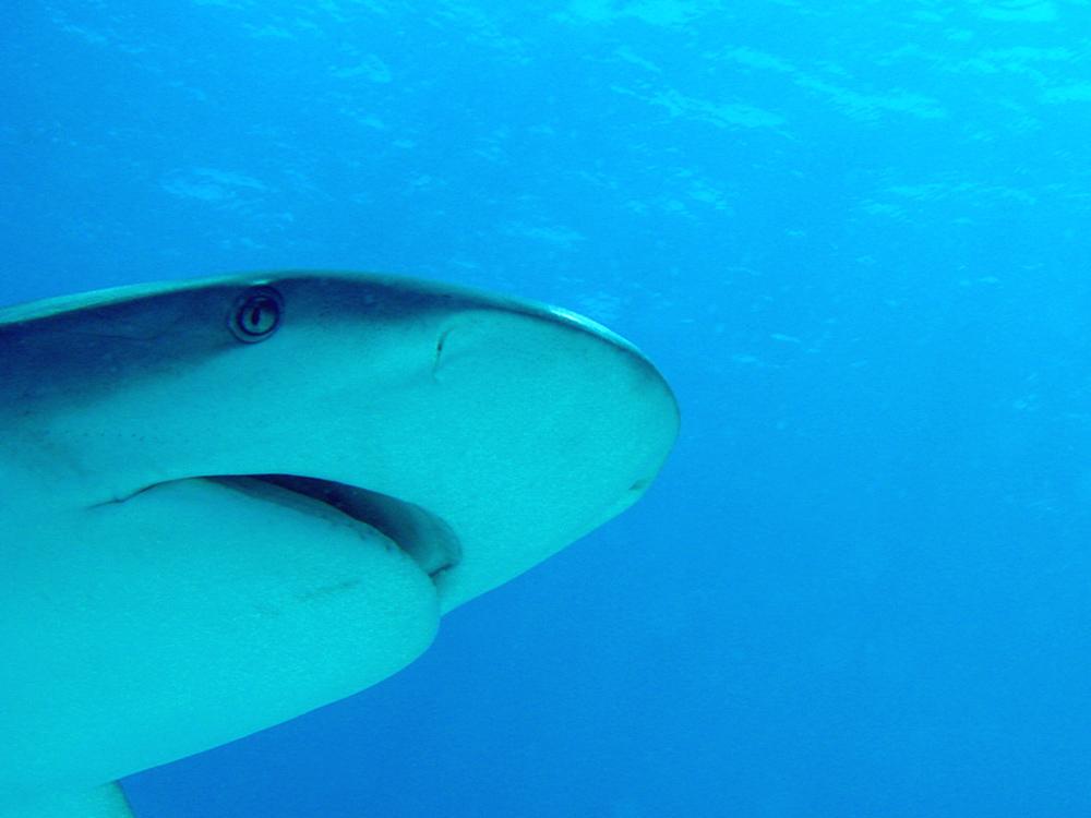 127 caribbean reef shark - nassau, bahamas.jpg