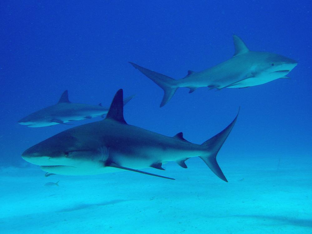 146 caribbean reef sharks - nassau, bahamas.jpg