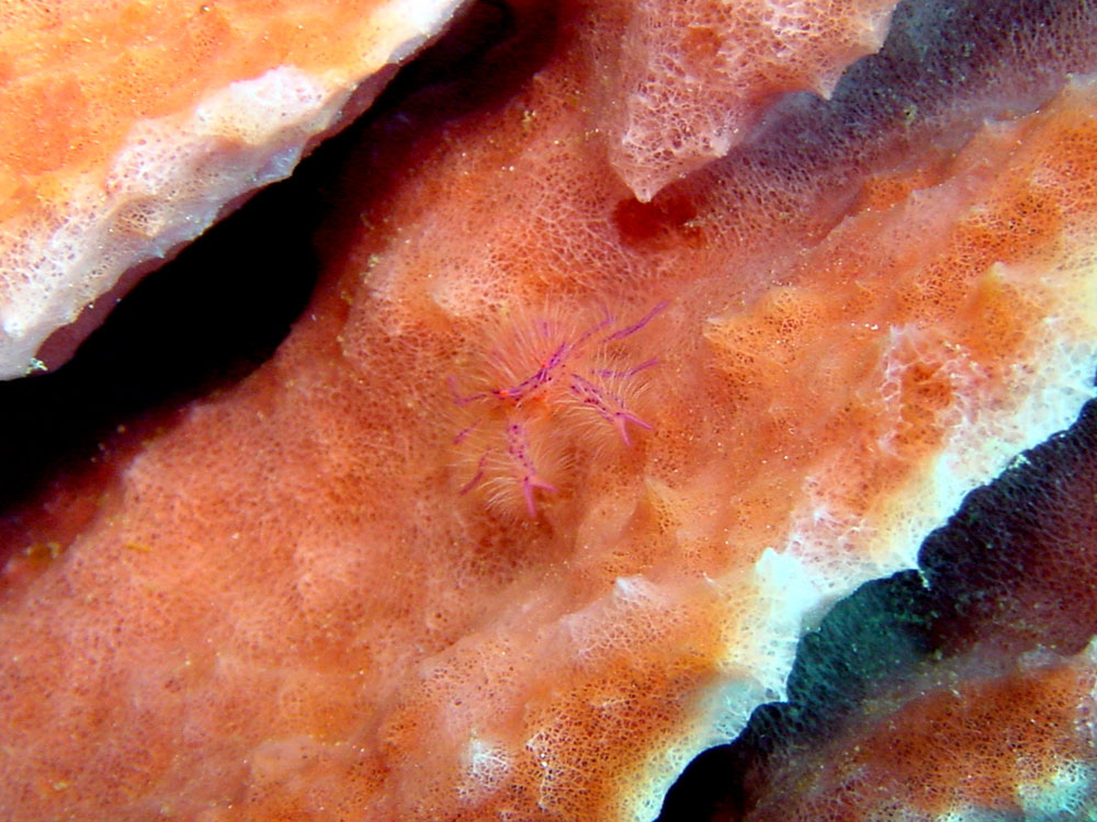 161 hairy crab - alor, indonesia.jpg