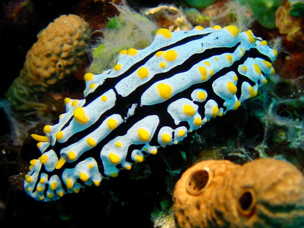 160 sea slug - alor, indonesia.jpg