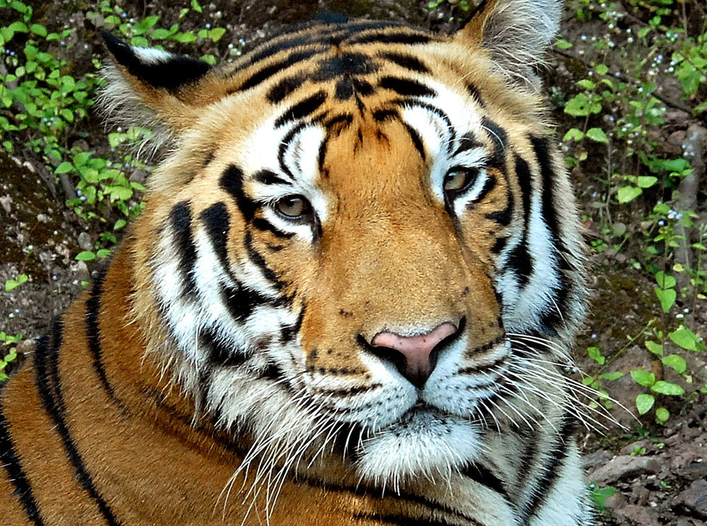 033 tiger portrait.jpg