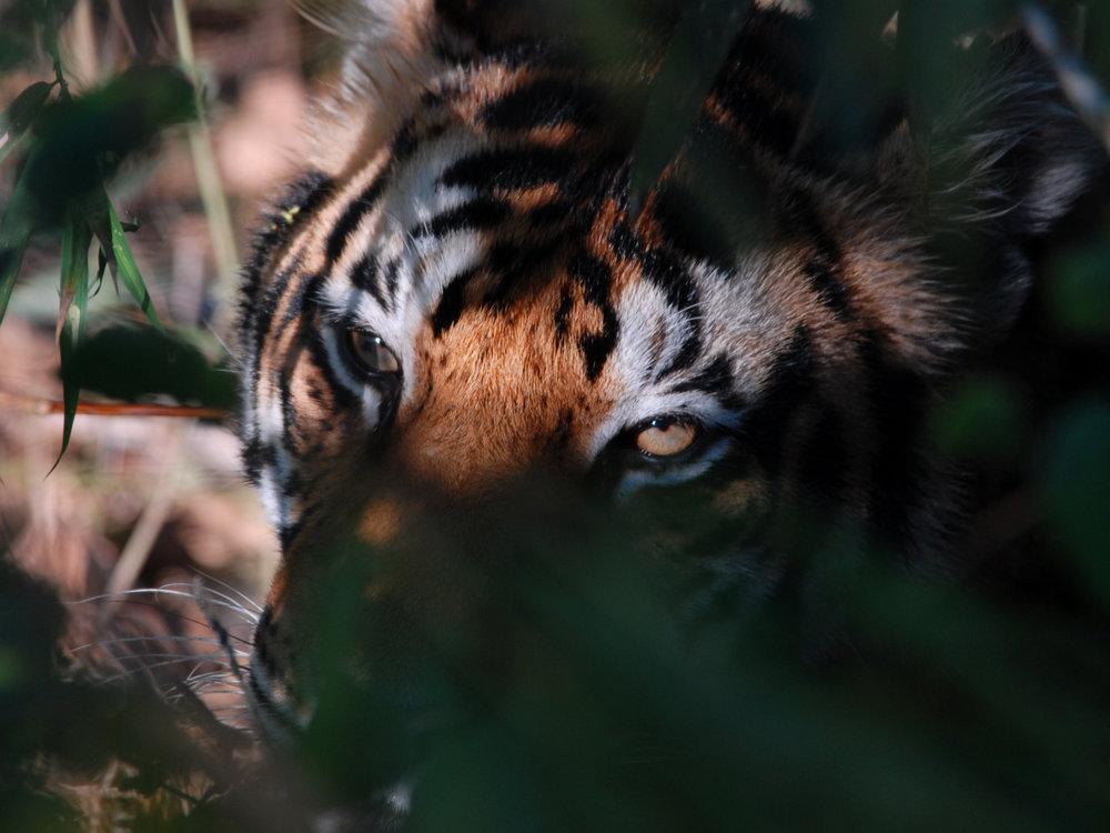 005 tiger.jpg