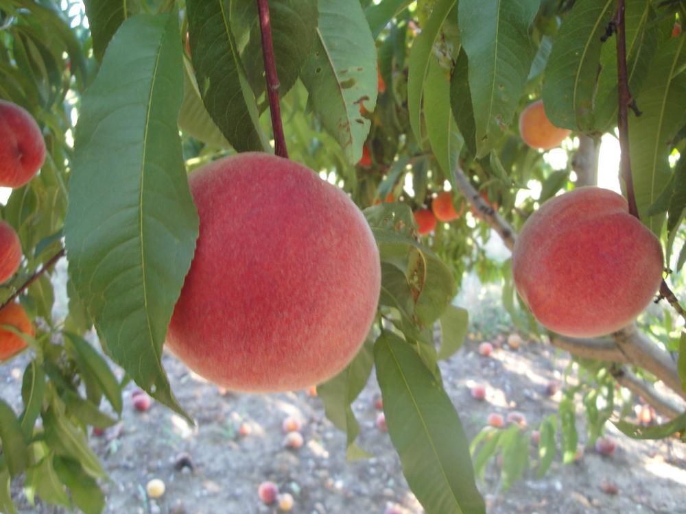 peach big.jpg