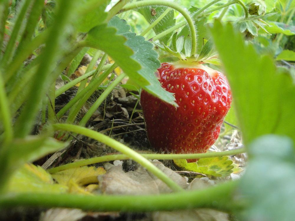 Strawberry Field U-Pick
