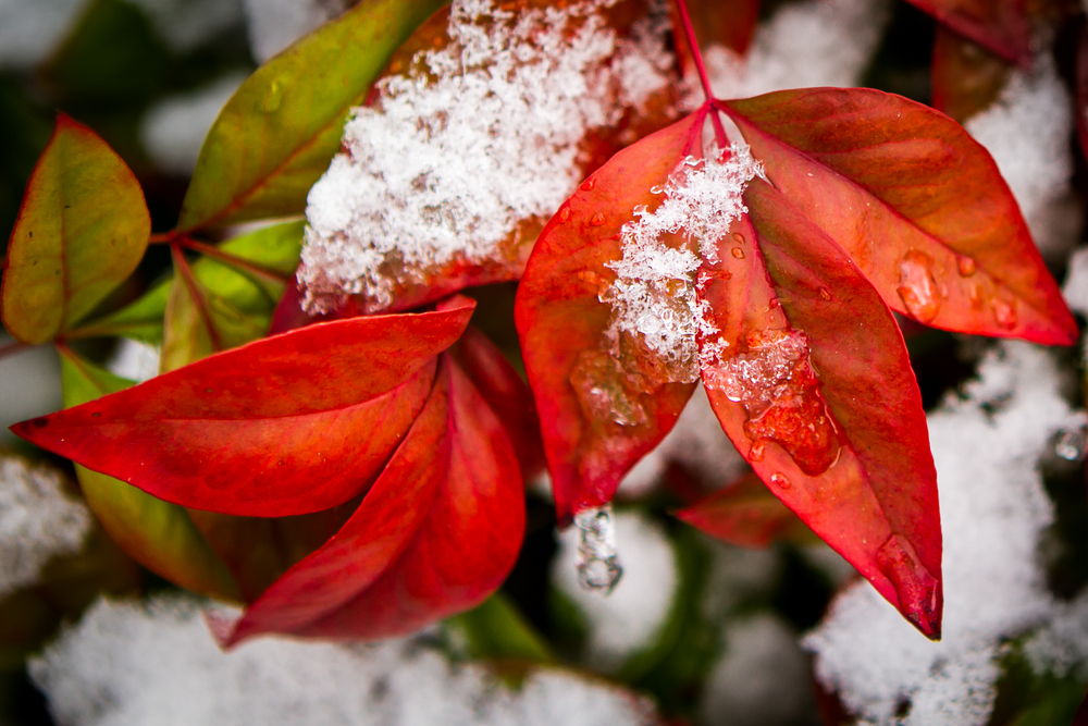 Nandina leaves in the Snow