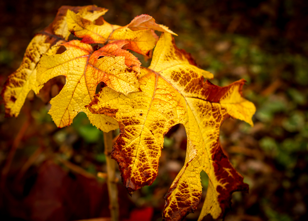 Oakleaf Hydrangea in Late Fall