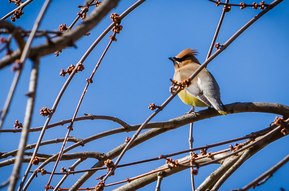 Cedar Waxwing in a Maple Tree