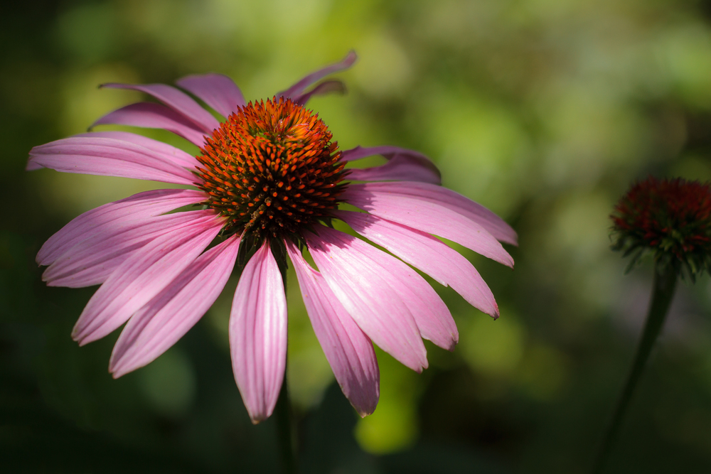 Coneflower July Afternoon
