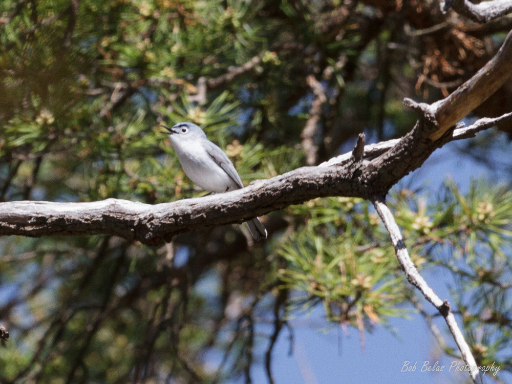 A blue-gray gnatcatcher, one of the early arrivals at Soldiers Delight
