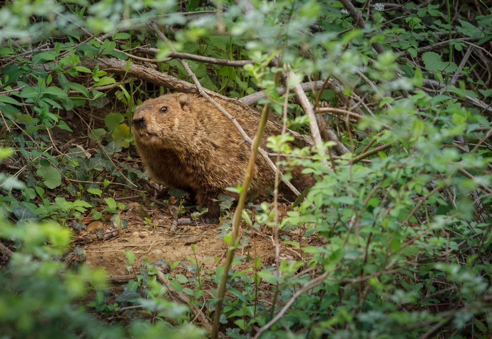 A very territorial woodchuck barks near Pigpen Pond