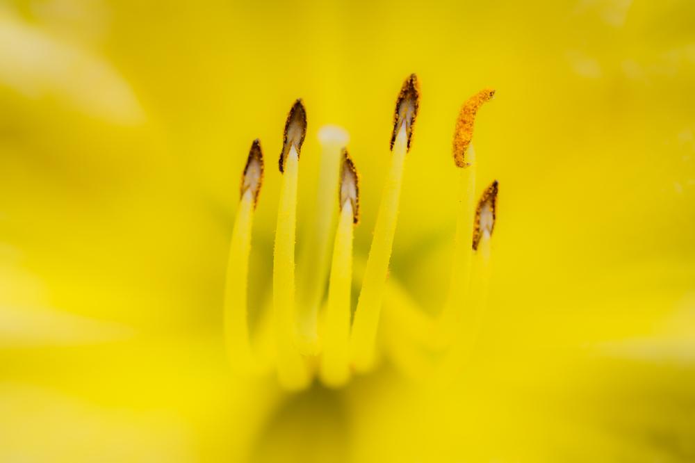 Daylily anthers
