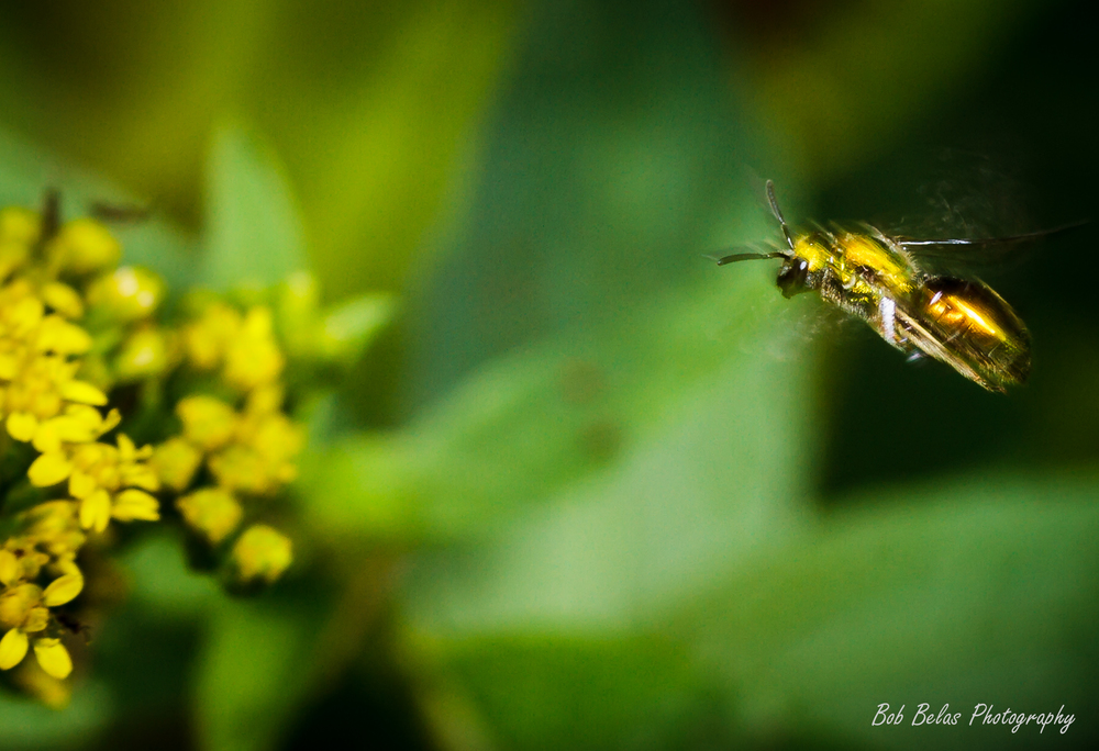 Sweat bee on final approach