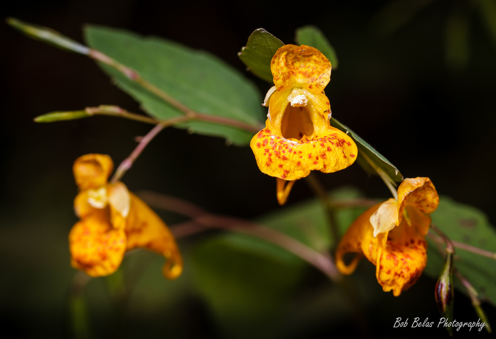 Orange Jewelweed ( Impatiens capensis )