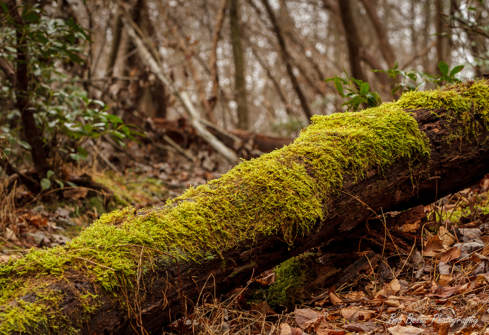 Moss Covered Log