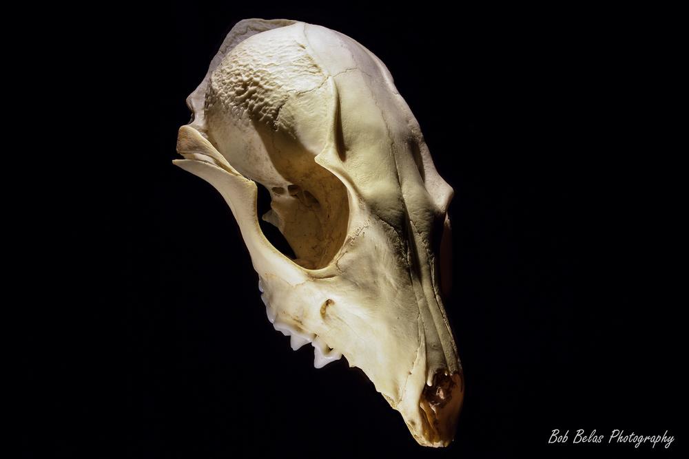 Possum Skull Macrophotograph
