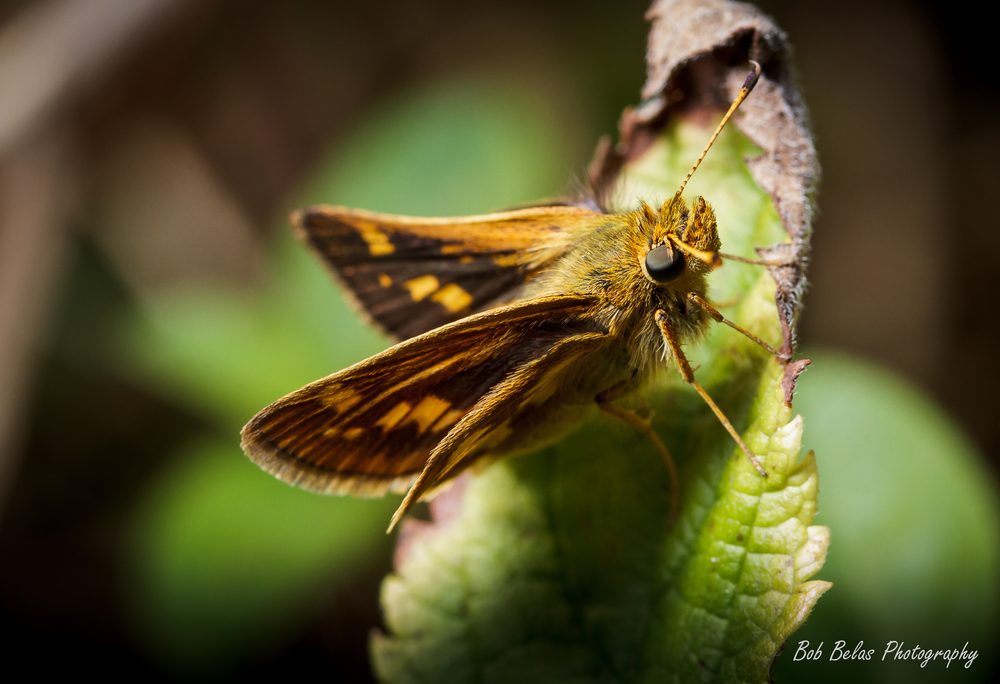Crossline Skipper
