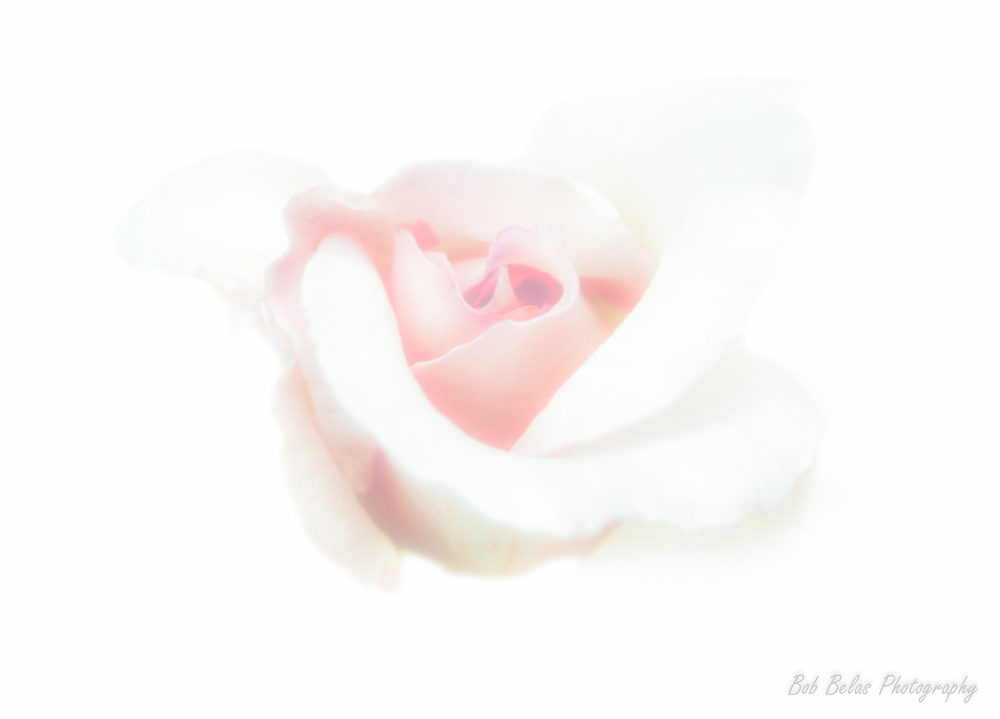 Pale White Rose