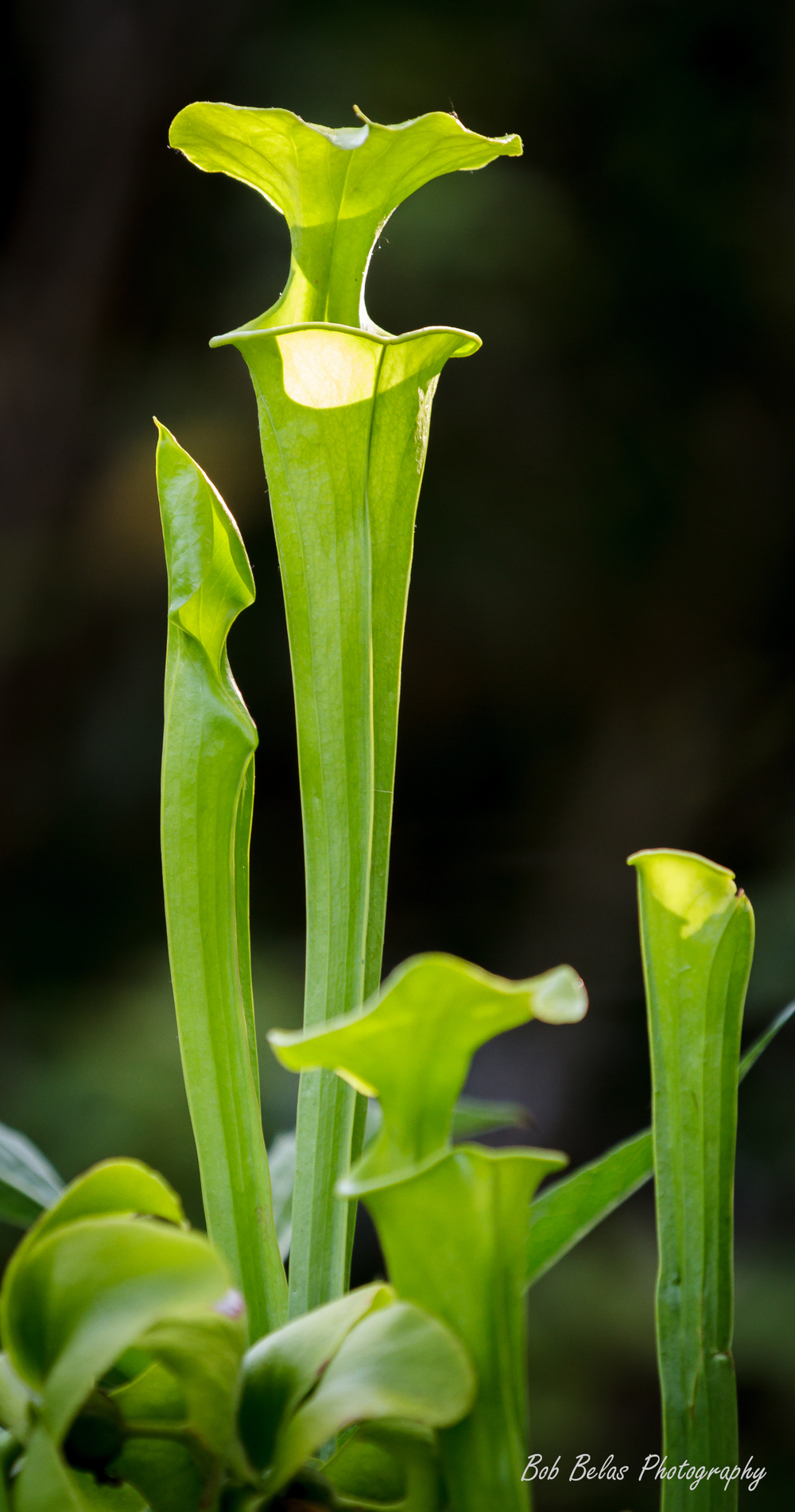 Serracenia flava in evening light.jpg