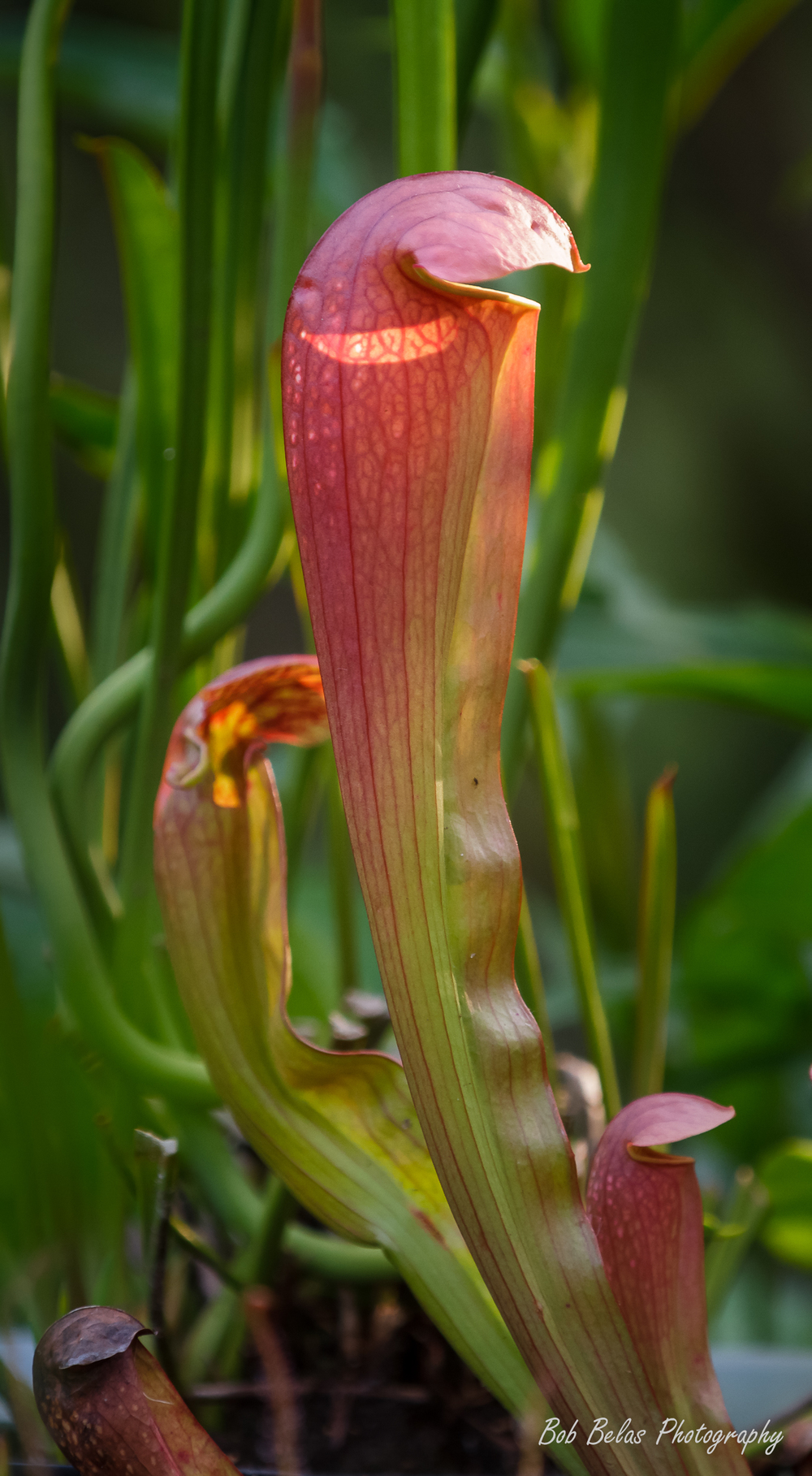 Red pitcher plant.jpg