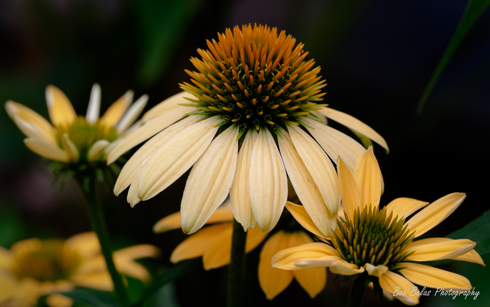 Pale Yellow Coneflowers